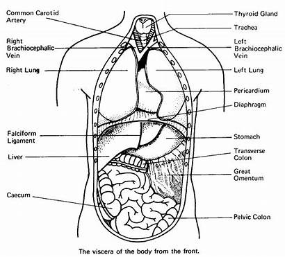 Human Coloring Pages Anatomy Biology Printable Viscus