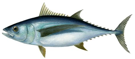 cuisiner le maquereau thon marine stewardship council