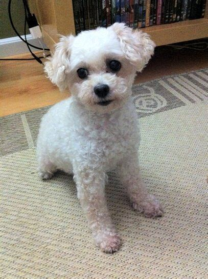 meggy    year  toy poodle    happy   great  loyal friend