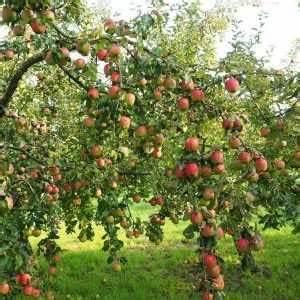 Quand Planter Un Pommier : choisir ses arbres fruitiers formes et vari t s pour ~ Dallasstarsshop.com Idées de Décoration