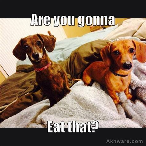 Dachshund Memes - the 25 best dachshund meme ideas on pinterest daschund wiener dogs and weenie dogs