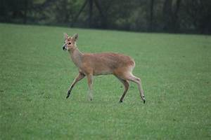 Chinese Water Deer » ZSL Whipsnade Zoo Gallery