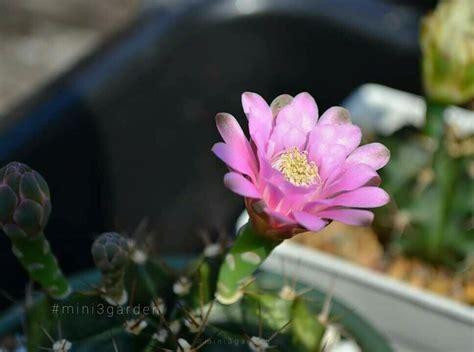 สีดอก #ยิมโน เห็นแล้วอยากจะกินนมเย็นเลย😊😋 #Gymnocalycium # ...