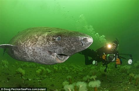 greenland shark fearsome creature eats polar bears