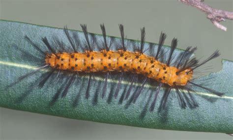 oleander caterpillar syntomeida epilais walker
