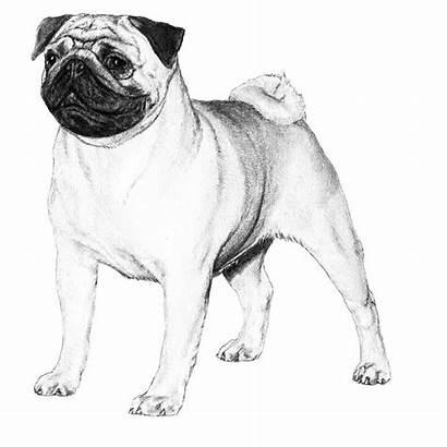 Pug Dog Breed Dogs Standard Illustration Sketch