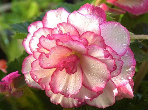 begonia flower begonia flowers flowers