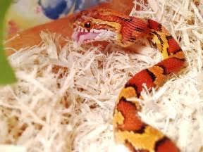 Baby Corn Snakes Eat