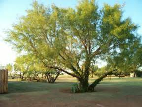 Texas Mesquite Tree