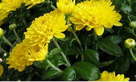 jual tanaman hias bunga krisan pot kuning lapak color