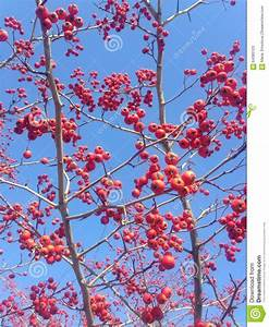 Strauch Mit Roten Beeren Im Winter : rote beeren auf einem crataegus baum im winter stockfoto bild 64380123 ~ Frokenaadalensverden.com Haus und Dekorationen