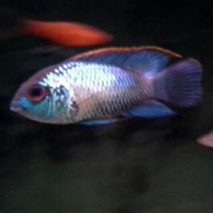 cichlids ELECTRIC BLUE ACARA OR NEON BLUE ACARA