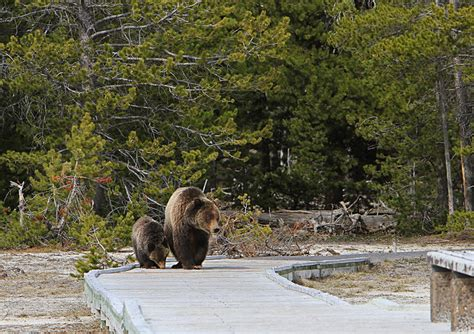 researcher criticizes yellowstone grizzly population model