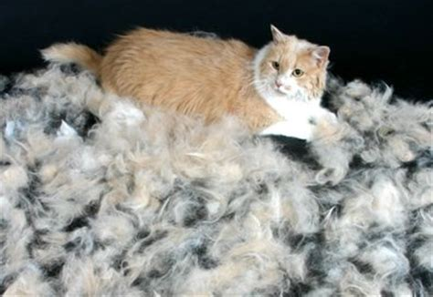 how to get your cat to stop shedding cat shedding disorders and cats on