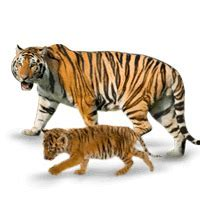 Baby Tiger is Called as Cub Picture   Baby Animals