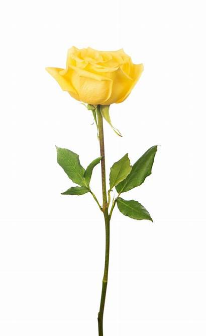Rose Yellow Single Background Meaning Roses Isolated