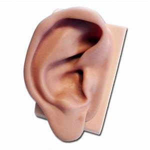 Silicone Ear Model For Acupuncture  Right Ear