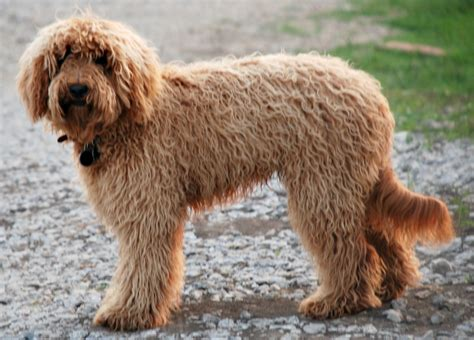 Non Shed Dogs Medium by Coat Types Blessed Day Labradoodles Amp Goldendoodles