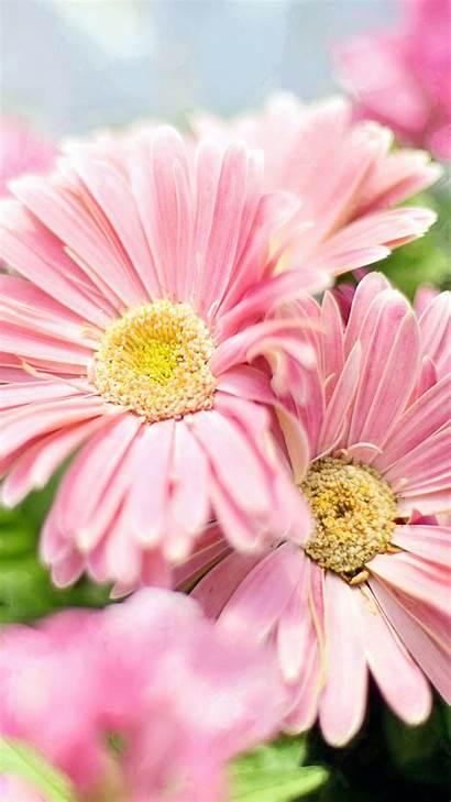 Flower Flowers Daisies Wallpapers Gerbera Pink Android