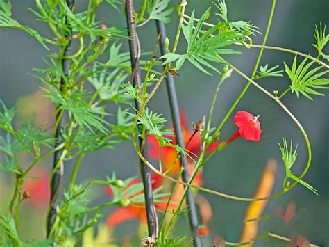 The Best Annual Flowering Vines For Your Garden