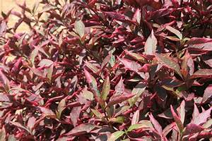 Joseph's Coats' colorful foliage shines in summer