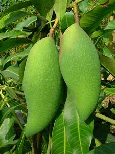 Green Mango Nutrition Facts ~ Mangoes Nutrition