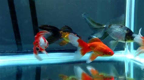 Garden Goldfish by New Watonai Goldfish From Garden Goldfish And Flower