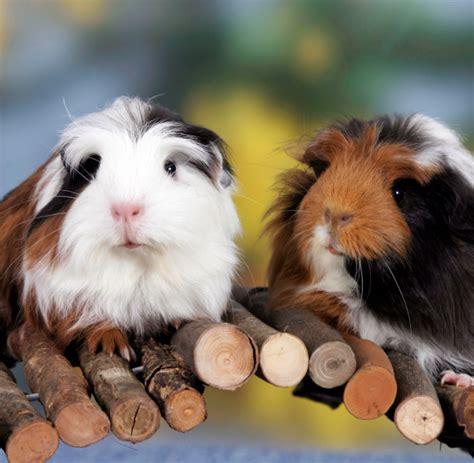 guinea pig names including names  males