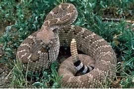 Western Diamondback Rattlesnake Striking Of our western diamondback  Western Diamondback Rattlesnake Striking