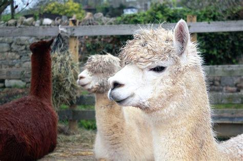 Animals, Llama, Mammal, Nature