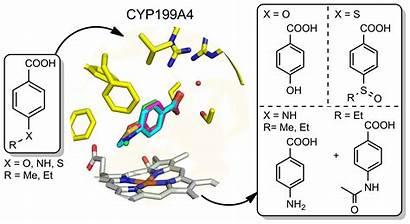 Enzyme Mechanism Drug Metabolism Reactions Enzymes Catalysed