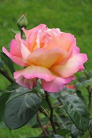 Chicago Peace Rose
