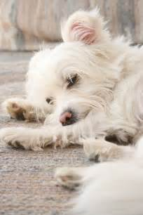 Maltese Terrier Mix Dog Breed Pictures