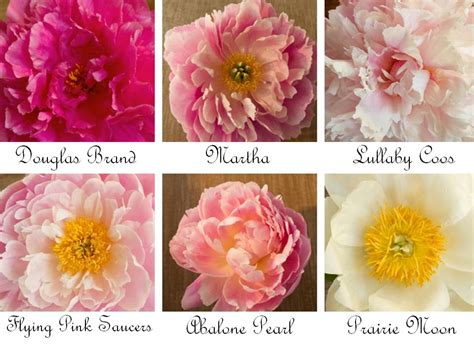 peony types romantic wedding flowers peonies in shades of ivory pink coral and yellow onewed com