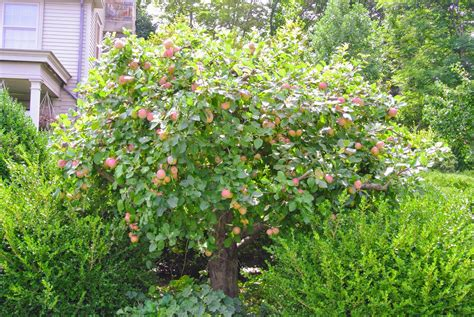 The Many Apple Trees At My Farm  The Martha Stewart Blog