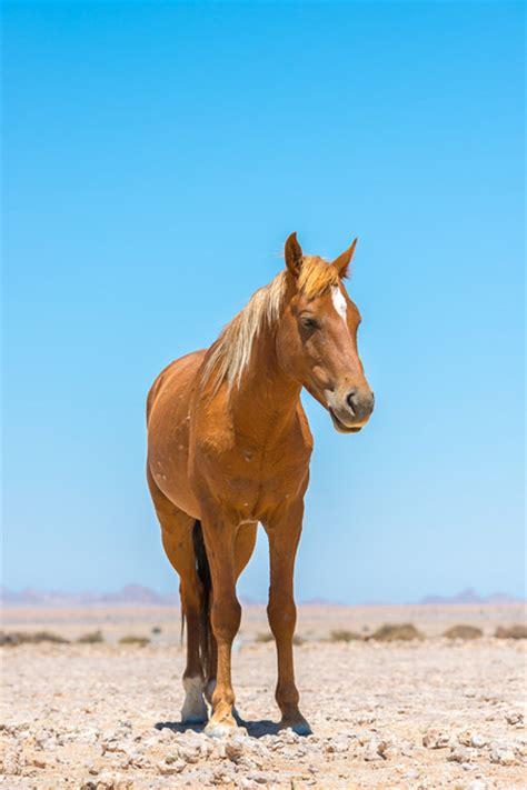 wild horses horse namib aus desert namibia africa