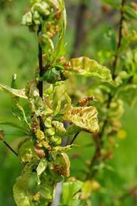 Himbeeren Krankheiten Bilder : birnbaum krankheiten birnbaum krankheiten erkennen bek ~ Lizthompson.info Haus und Dekorationen