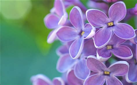 lilac wallpapers images  pictures backgrounds
