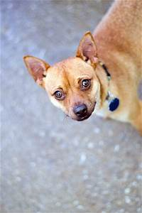 Dusty - Chihuahua | Humane Society of Dallas County