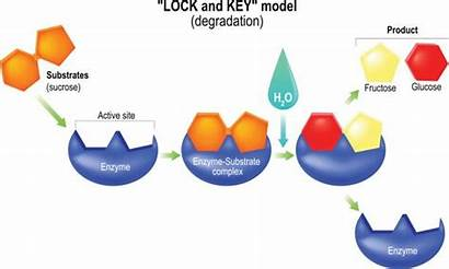 Key Lock Lysosome Enzymes Types Degradation Different