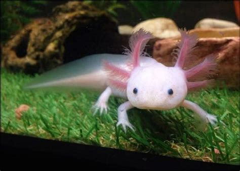 axolotl ambystoma mexicanum  fish  fish dartmouth