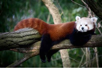 Panda Photoshoot Wallpapers Kleiner Pandas Ferret Relaxing
