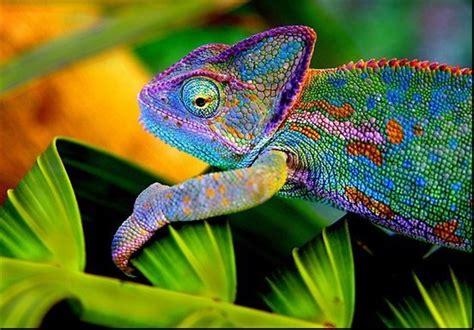 types of chameleons chameleons use colorful language to communicate tasnim news agency