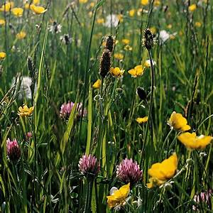 Buy Wildflower Plug Plant Collection Wildflowers For A Boggy Meadow   U00a399 99 Delivery By Crocus