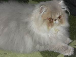 The gallery for --> Lilac Persian Cat