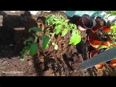 Tomātu dēstu stādīšana siltumnīcā - YouTube