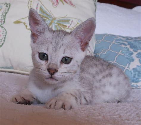 abyssinian cat utah cat  dog lovers