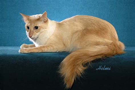 javanese cat information health pictures training