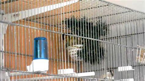 cardellini in gabbia cardellini mentre costruiscono il nido