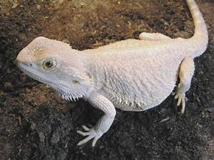 This is a hypo bearded dragon. – Bearded Dragon care